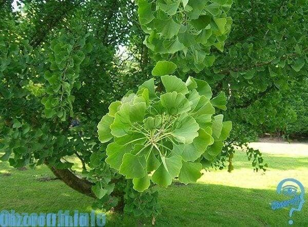 Arborele Ginkgo biloba